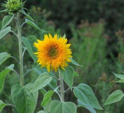 Sonnenblumen_Alberhof
